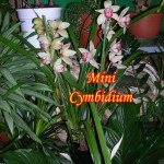 Mini-cymbidium