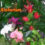 anthurium-colorate