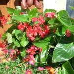 begonia-drago