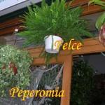 felce-peperomia