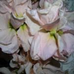 fioreviola