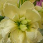 fioreviola2