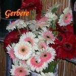 gerbere
