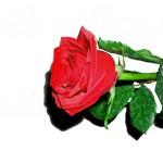 rosa_rossa1