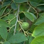 albero cherimolia