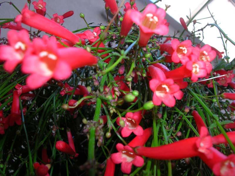 Russelia la cascata rossa ritrovo del fiore for Fiori per balconi soleggiati