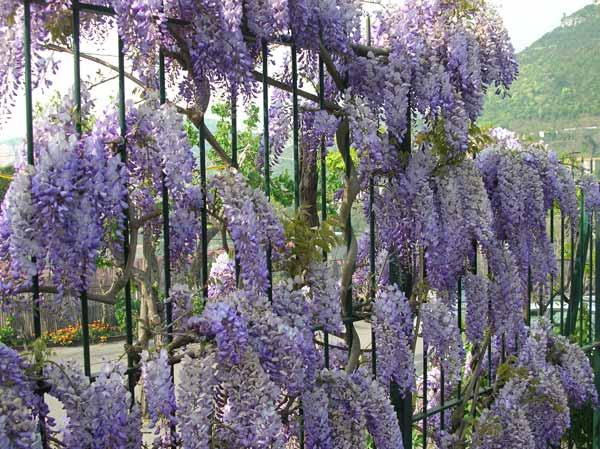 Glicine il lilla che piace ritrovo del fiore for Tende lilla glicine