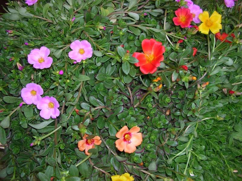 Portulacca fresca cascata di colori estivi ritrovo del - Alberello da giardino ...