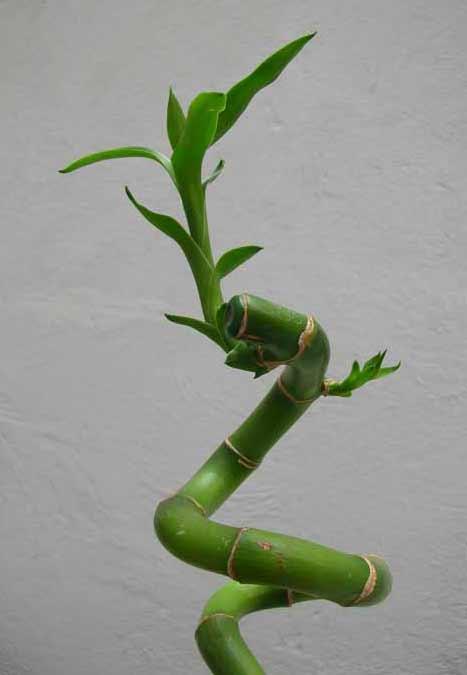 Lucky bamboo la fortuna sia con voi ritrovo del fiore - Bambu in vaso acqua ...