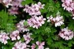 pelargonium odoroso