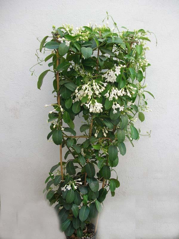 Stephanotis dolce profumo dall 39 africa ritrovo del fiore for Pianta ornamentale con fiori a grappolo profumatissimi