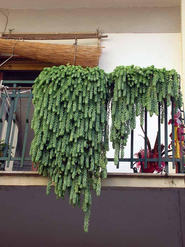 Sedum semplice e resistente ritrovo del fiore for Alberelli da esterno